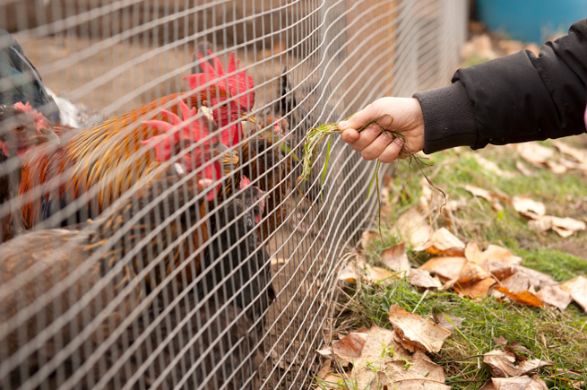 Person feeding a rooster at a Solid Ground community garden near Seattle