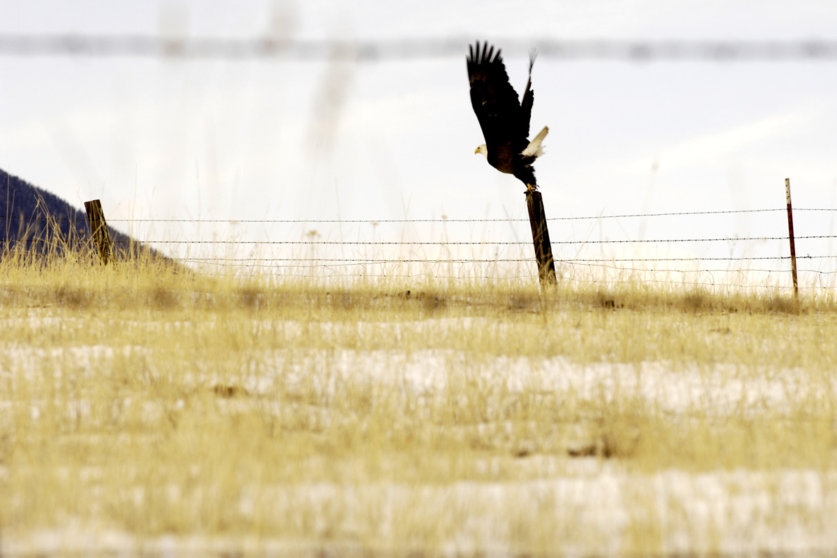 Eagle taking flight on a prairie
