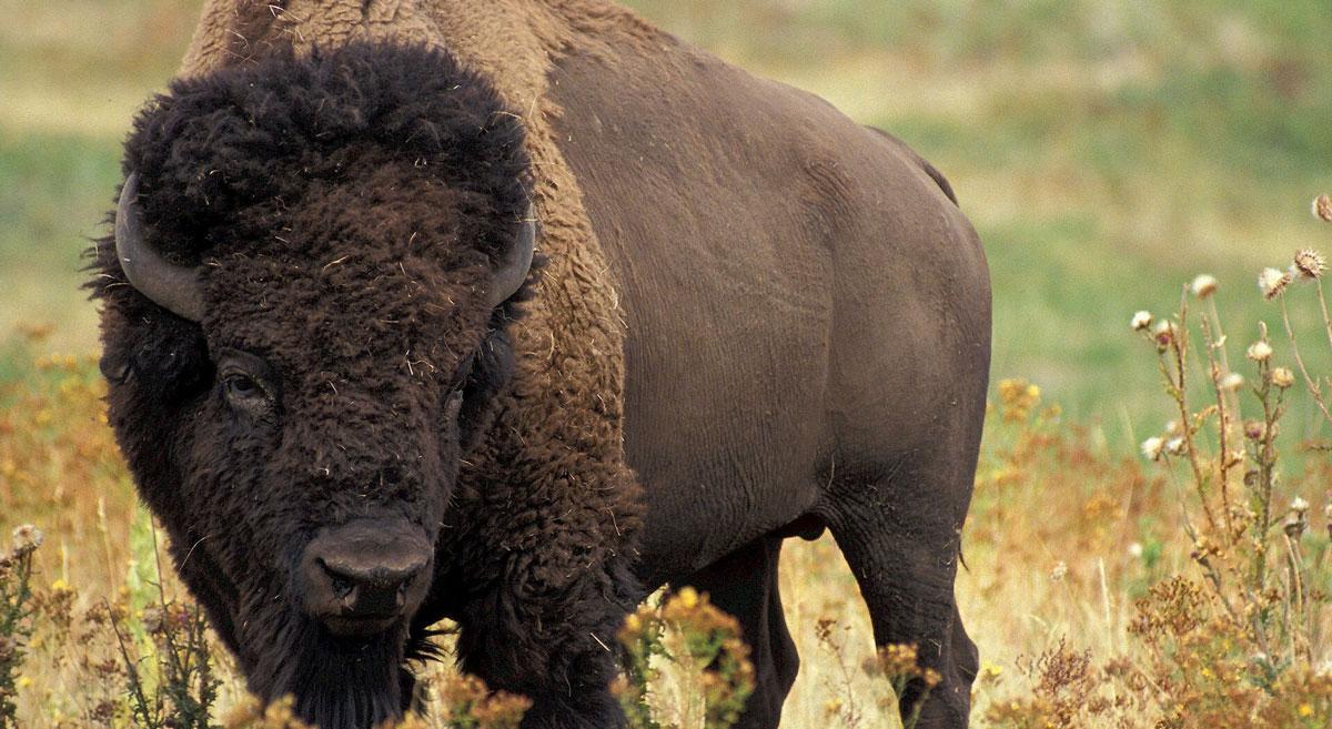 Bison grazing in South Dakota